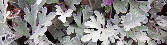 A Selection of Silver Foliage