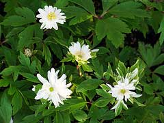 Anemone nemorosa National Collection Holders