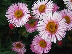 SYMPHYOTRICHUM novae-angliae National Collection Holders